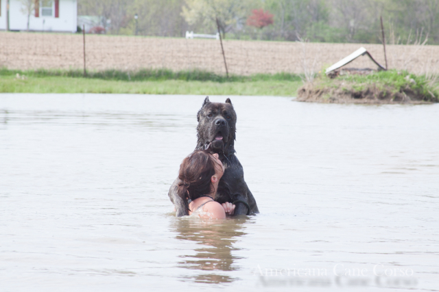Male cane corso swimming with girl, black brindle cane corso puppies available.
