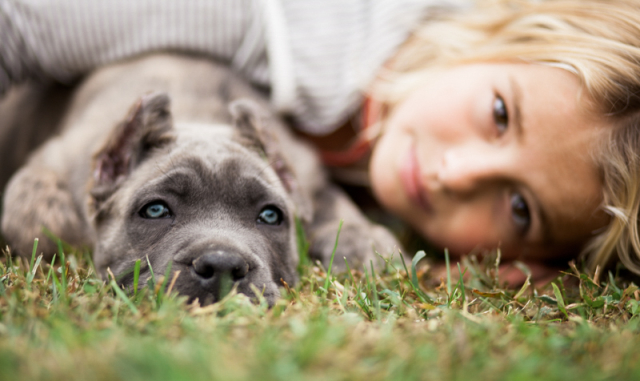 Beautiful picture of blue brindle puppy and young girl, cane corso italiano puppies available