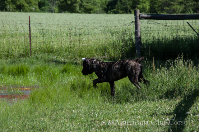 black brindle cane corso puppy hunting frogs
