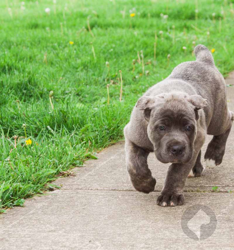 Very powerful young female puppy, blue brindle cane corso puppy.