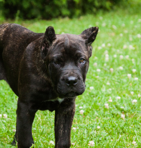 Alcor Cane Corso puppy owned by Americana Cane Corso, Fossil is a tremendous example of the breed even as a young pup.