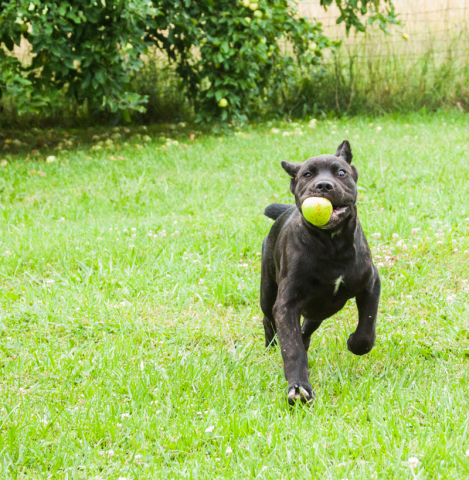 Cane Corso running with treat, female puppies available.