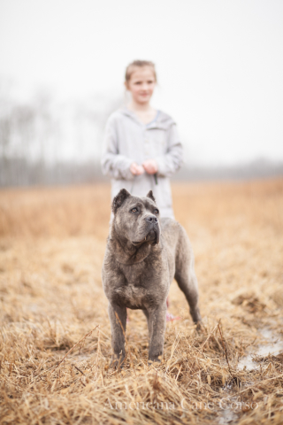 Cane Corso Italiano with young girl in field. Typical rainy fall day in Ohio.